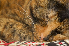 Tortoiseshell cat closeup portrait Stock Image