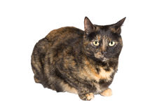 Tortoiseshell cat. Closeup of tortoiseshell cat standing over white background stock images
