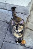 Magnificent tortoiseshell cat portrait. Tortoiseshell is a cat coat coloring named for its similarity to tortoiseshell material stock images
