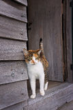 Tortoiseshell cat in door of old wooden shed Royalty Free Stock Images