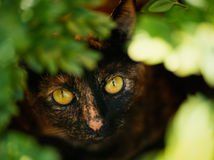 Tortoiseshell Cat in Foliage. A small brindle tortoiseshell cat with pretty bright amber eyes looks up through the leaves of a bush where she is hiding royalty free stock image