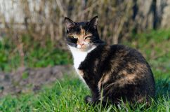 Tortoiseshell cat with green eyes outdoors squinting in the sun. Tortoiseshell cat with green eyes squinting at the sun in the spring Stock Photos