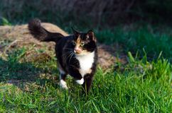 Tortoiseshell cat with green eyes outdoors squinting in the sun Royalty Free Stock Images