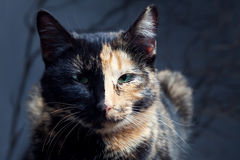 Tortoiseshell cat on grey background Royalty Free Stock Photo