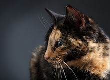 Tortoiseshell cat on grey Stock Photo