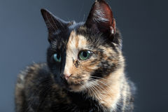 Tortoiseshell cat on grey backrgound.  Stock Photos