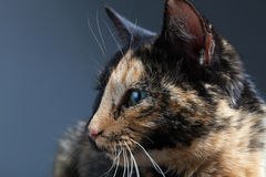 Tortoiseshell cat. On grey backrgound Stock Photo