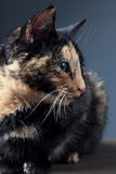 Tortoiseshell cat on grey backrgound.  Royalty Free Stock Images