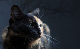 Tortoiseshell cat on grey backrgound isolated.  Stock Photography