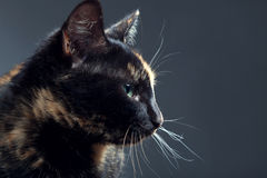 Tortoiseshell cat on grey backrgound isolated.  Royalty Free Stock Images