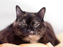 A tortoiseshell cat Stock Photos