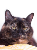 A tortoiseshell cat Royalty Free Stock Photos