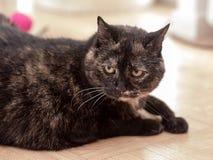 A tortoiseshell cat Royalty Free Stock Photography