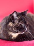 Tortoiseshell cat Royalty Free Stock Photo