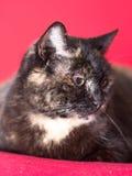Tortoiseshell cat Royalty Free Stock Photos