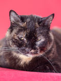 Tortoiseshell cat Stock Photos