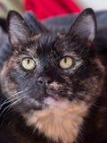 A tortoiseshell cat Stock Image