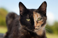 Tortoiseshell cat outdoors stock photo