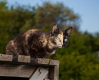 Tortoiseshell cat outdoors. The Tortoiseshell cat outdoors sit Royalty Free Stock Images