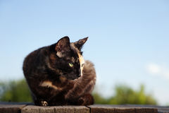 Tortoiseshell cat outdoors. The Tortoiseshell cat sit outdoors Royalty Free Stock Images