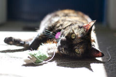 Tortoiseshell cat playing with fluffy toy Royalty Free Stock Photos