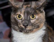 Tortoiseshell cat portrait Stock Photography