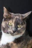 Tortoiseshell cat portrait Stock Photo