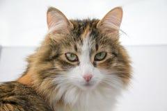 Tortoiseshell cat portrait Royalty Free Stock Images