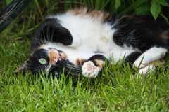A tortoiseshell cat rolling around in a garden Royalty Free Stock Photography