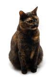Tortoiseshell cat sits. Sitting Cat on white background stock image
