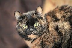 Tortoiseshell cat sits stock images