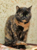 Tortoiseshell cat sits Royalty Free Stock Image