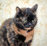 Tortoiseshell cat sits Stock Photo