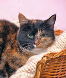 Tortoiseshell cat sits stock photography