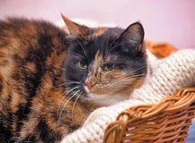 Tortoiseshell cat sits stock photos