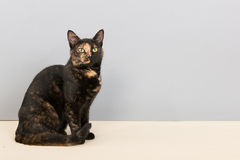 Tortoiseshell cat. Sitting in studio royalty free stock images
