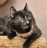 Tortoiseshell cat Royalty Free Stock Photos