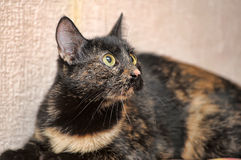 Tortoiseshell cat Royalty Free Stock Photography