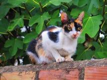 Tortoiseshell cat Royalty Free Stock Photography