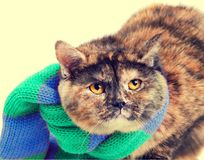 Tortoiseshell cat wearing a scarf. Fashion portrait of tortoiseshell cat wearing the green blue scarf. Winter concept royalty free stock photography