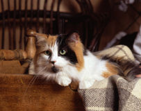 Tortoiseshell cat. A tortoiseshell and white domestic cat resting herself in a wood crate and a plaid blanket in a rustic set-up stock photo