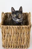 Tortoiseshell cat with yellow eyes sitting in rattan basket s. Taring intently Royalty Free Stock Photo