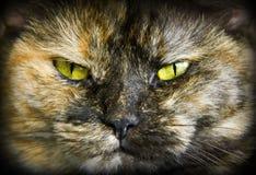 Tortoiseshell cats Stock Photo