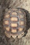 Tortoiseshell Stock Images