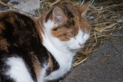 Tortoiseshell domestic pet cat sleeping on hay in a barn. Tortoiseshell domestic pet cat lying on hay in a barn on a farm with his eyes closed, looking content stock photos