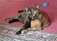 Tortoiseshell house cat. Photo of a pretty tortoiseshell cat happy to be at home with her toys.photo taken march 2017 stock images