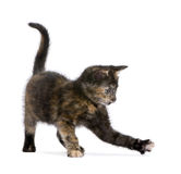 Tortoiseshell kitten (2 months) Royalty Free Stock Photography