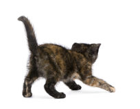 Tortoiseshell kitten (2 months) Royalty Free Stock Photos