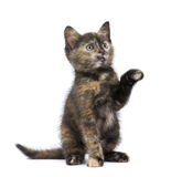 Tortoiseshell kitten (2 months) Royalty Free Stock Photo