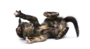 Tortoiseshell kitten (2 months) Stock Image